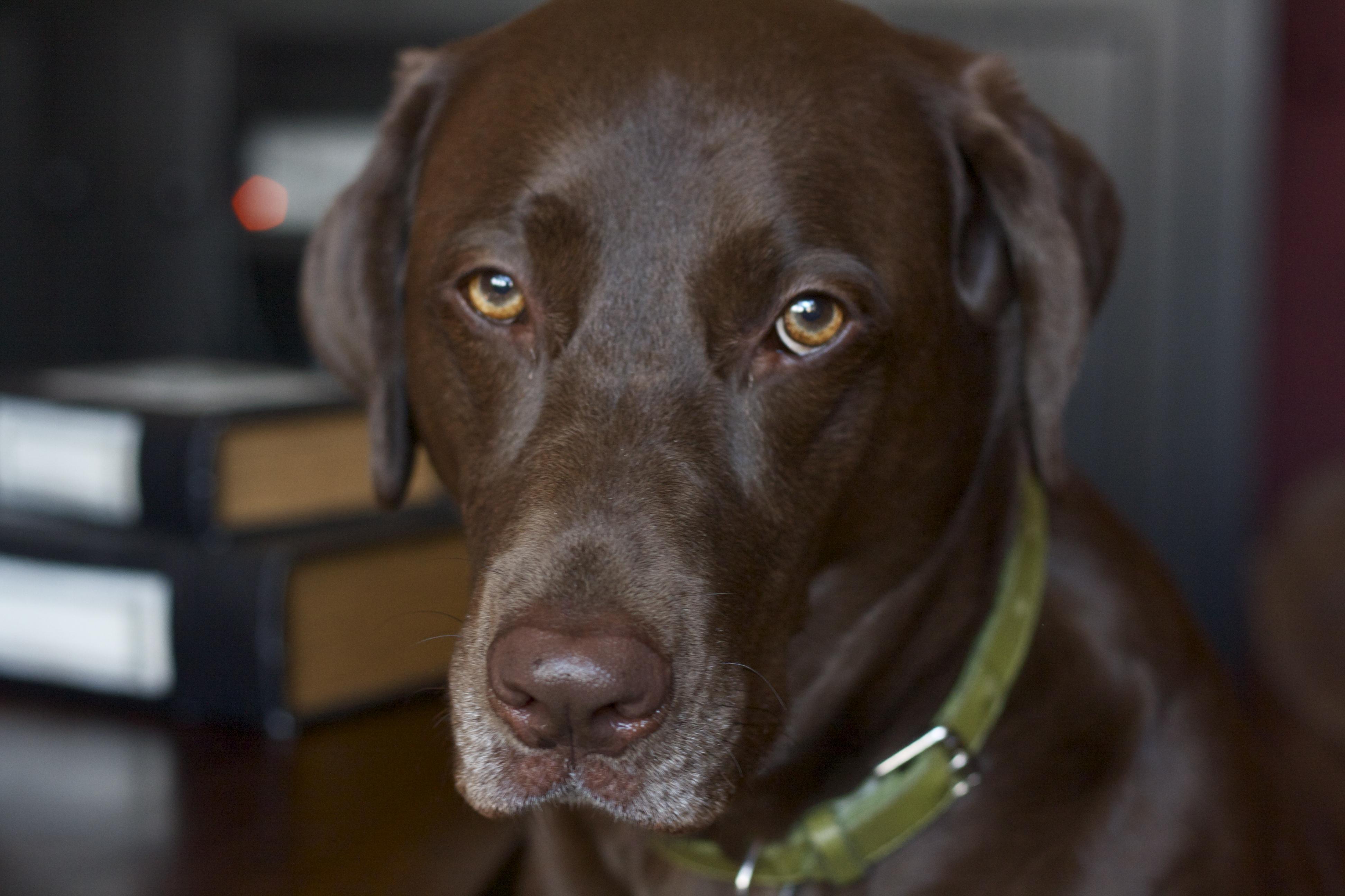 Chocolate Labrador wearing green collar.