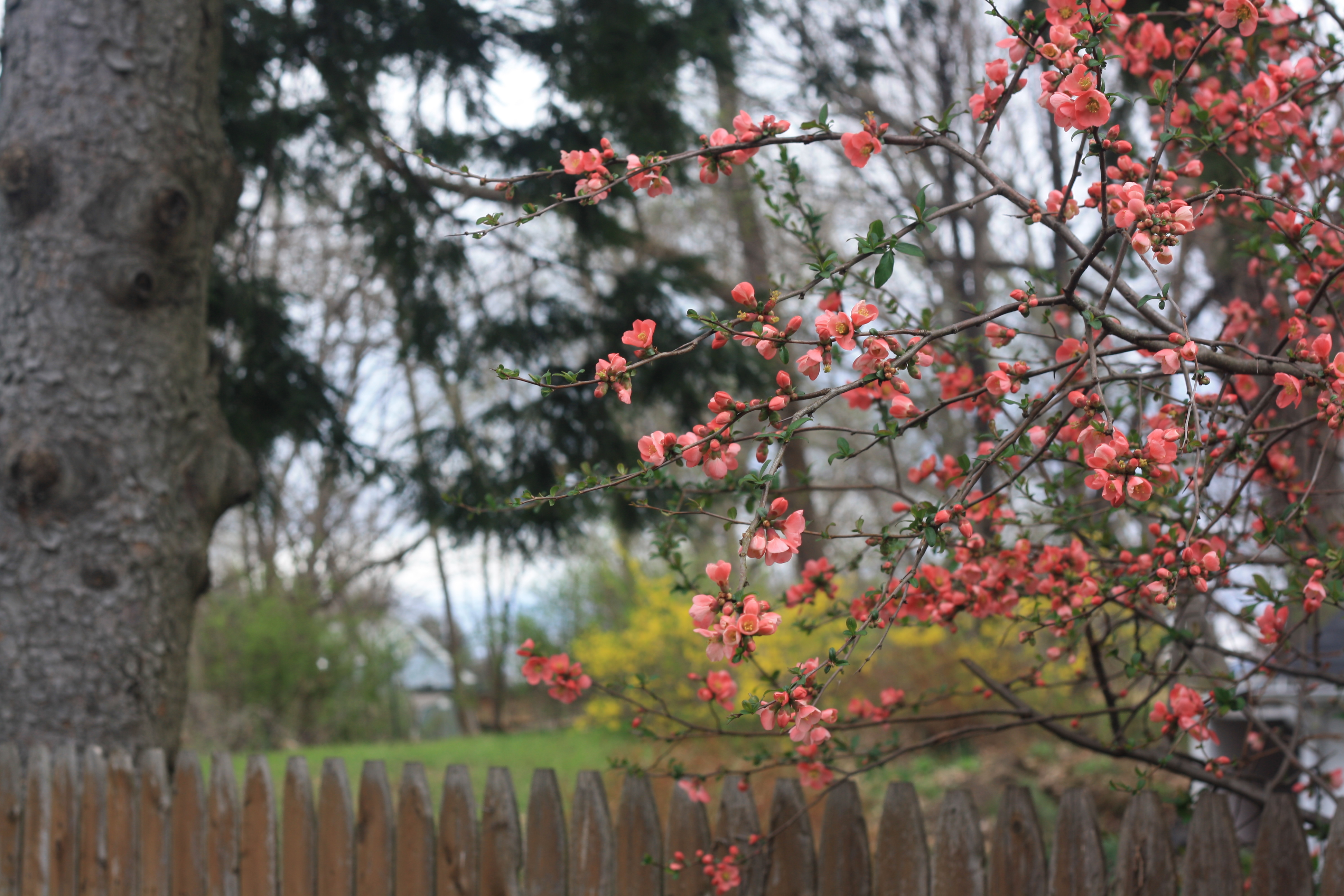Backyard landscape with pink blossoms on tree..